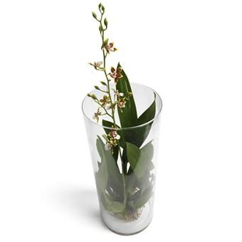 Oncidium Orchidee online verschicken