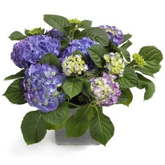 Herrlich blaue Hortensie