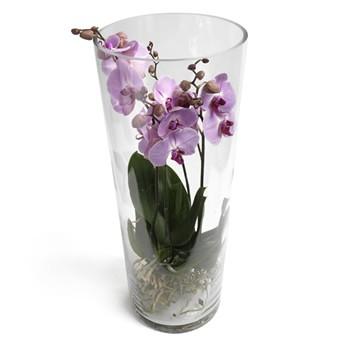 Lila Phalaenopsis Orchidee bestellen
